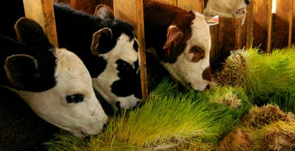 AlSeasonsGreens-slider-Cows-feedn-in-bunk