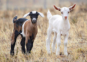 Residents may soon be allowed to keep up to two small goats if they meet certain requirements. Image source: Wikipedia