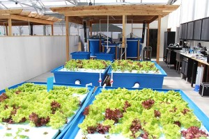 Replication Systems of the UWSP-Aquaponics Innovation Center
