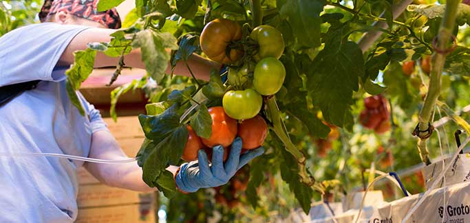 Hydroponic Farm Grows Summer Tomatoes and a Sustainable Work Force Through Long Maine Winters