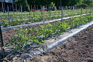 Tomato plants grow in the soil. (Wikimedia Commons photo)