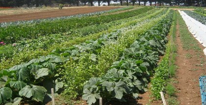 UCSC_farm_rows-Foods-System-Expert-Remains-Hopeful-for-Positive-Change