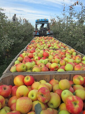 An apple harvest at Champlain Orchards in Vermont. Photo credit: Champlain Orchards.