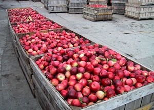 apples+in+bushel+bins.jpg.pagespeed.ce.ReJzZc85yN