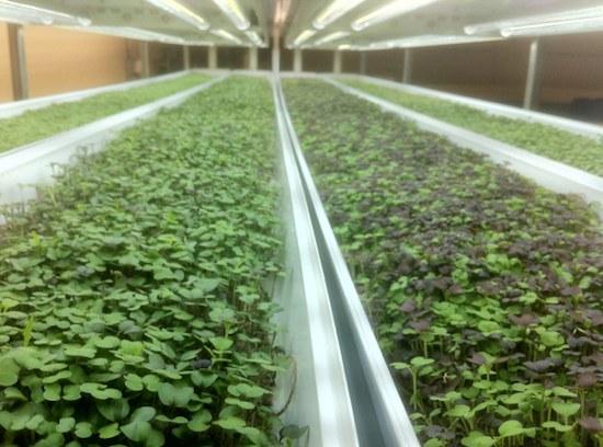 aquaponic micro greens