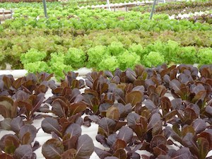 Hydroponic lettuces at Bluebonnet Hydroponic Farms.