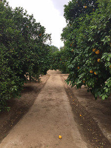 Fox Farm in Riverside is the site of an upcoming Dinner in the Grove on May 16—proceeds will benefit GrowRIVERSIDE. The farm is home to numerous citrus trees. (photo courtesy of Scott Berndt)
