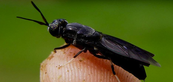 Waste-based Startup Uses Insect Alchemy to Transform Soldier Fly into Sustainable Animal Feed