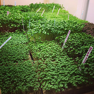 Enamored with Urban Ag, Start-up Launches Cutting Edge Hydroponic Microgreen Operation