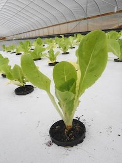 Jericho Romaine Lettuce growing in the aquaponic system at The Farming Fish in Oregon. Photo Credit: The Farming Fish.