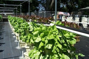 Photo Credit: Urban Oasis Hydroponic Farm.