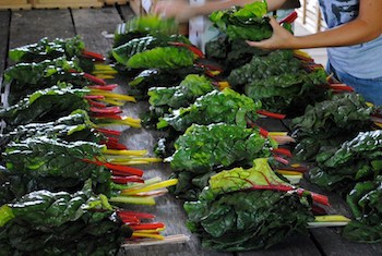 Swiss Chard from Mott Family. Photo Credit: Mott Family Farm.