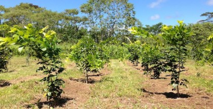pongamia biofuel feed terviva feature