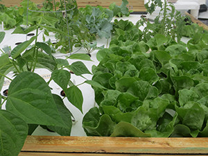 Holy Name Monastery's aquaponics operation is only a couple of months old, but has already produced healthy plants. (photo courtesy Miriam Cosgrove/Holy Name Monastery)