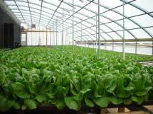 Romaine lettuce is Thoele's most productive green. Photo courtesy of Barry Thoele.