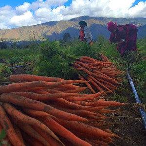 Carrots are harvested in the Temecula Valley. (photo courtesy of Don Webber/Cultivating Good)