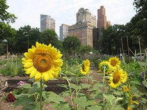 Sponsored by the Battery Conservancy, the farm is a piece of green in a concrete jungle. Image courtesy of Battery Urban Farm.