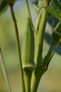 Okra, used in gumbo, jambalaya and other Cajun/Creole foods, is one of several locally-grown crops in southern Louisiana's Acadiana region. (photo courtesy Chris Adams/Acadiana Food Alliance)