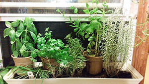 Windowsill herb garden. Credit: Davina Inman