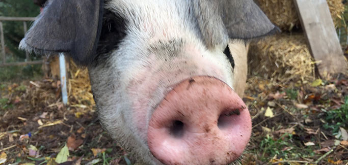 School Food Slop Recovery Program Results in Animal Feed Opportunity for Local Farm