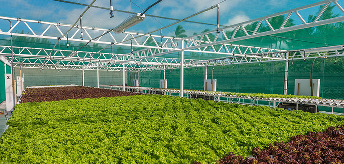 Hawaiian Resort Serves Fresh Fare through Hydroponics