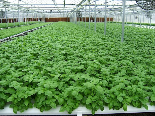 Sun Aqua Farms grows three types of basil in their greenhouses. Photo Credit: Sun Aqua Farms.