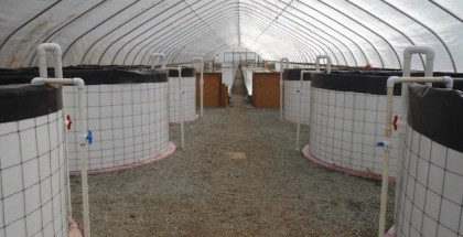 the farming fish aquaponics