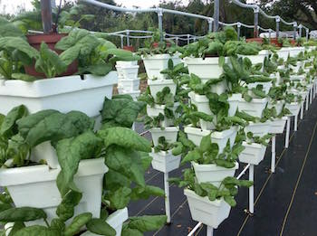 Vertical hydroponic tower array at Ground Floor Farm. Photo courtesy of Ground Floor Farm.
