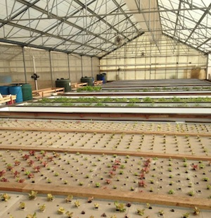 Interior of Viridis Aquaponics greenhouse in Watsonville, CA. Photo credit: Viridis Aquaponics