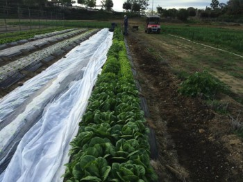 Organically grown lettuce heads being raised at Farm Lab for school lunch in the Encinitas Union School District