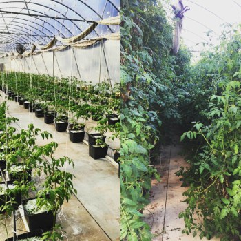 A beginning and end of season view of Hurricane Creek Farms' hydroponic tomatoe greenhouse. Photos courtesy of Jesse Adkins and Hurricane Creek Farms.