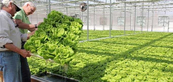 Former Mushroom Farmer Transforms Unoccupied Greenhousesinto Booming Hydroponic Lettuce Business
