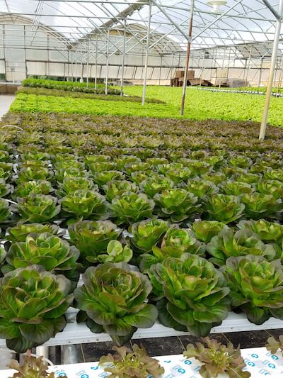 Hydroponically grown red and green mixed varieties of lettuce at Mock's Greenhouse and Farm in Berkeley Springs, West Virginia. Photo credit: Mock's Greenhouse and Farm.