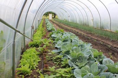 real-food-farm-hoop-house-growing-inside-hoop-house