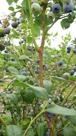 Blueberries growing in the Beacon Food Forest. Photo Credit. Beacon Food Forest.