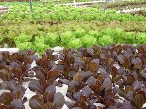 Hydroponic lettuces at Bluebonnet Hydroponic Farms.