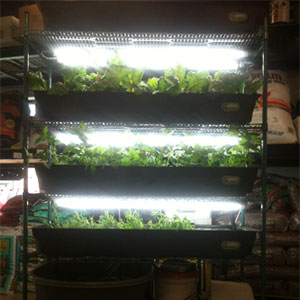 Herbs, basil and Swiss chard are grown in a FarmTower Co. do-it-yourself farm tower. (photo by Arish Amini)