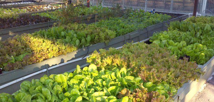 Waste Reuse, Health and Nutrient Density Core to Arizona-based Aquaponic Operation