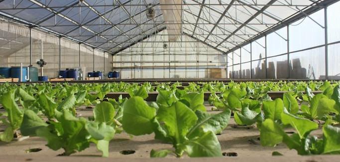 Economic Sustainability of Large-scale Aquaponics Subject of University Research