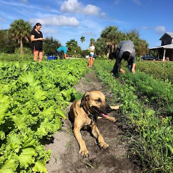 Community members helping out with the harvest at Geraldson Community Farm in Bradenton, Florida. Photo courtesy of Geraldson Community Farm.