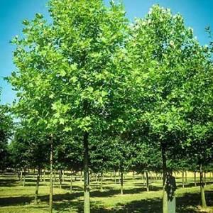 An urban hybrid poplar farm. Photo courtesy Fresh Coast Capital.