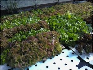 Lettuce grown in Scott Aquaponics' deep water culture system, fertilized by the gravity fed fish waste solution. Photo Credit: Scott Aquaponics