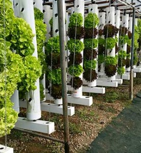 Heads of lettuce gain their sustenance through aquaponics channels at Future Foods Farms in Brea. Photo courtesy Barbie Wheatley/Future Foods Farms.