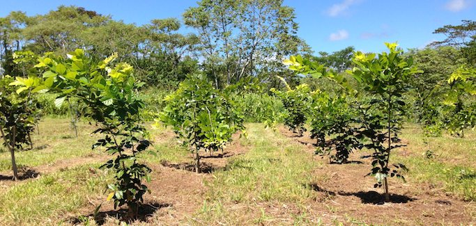 In Search for Sustainable Biofuel Feed Solution, Startup Focuses on Ancient Pongamia Tree