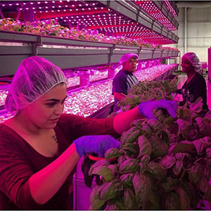 """""""Harvesters Alejandra Martinez (front), Steve Rodriguez, and Marquita Twidell cut basil at the FarmedHere facilities. Image courtesy of FarmedHere."""""""