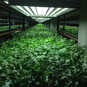 Fed by nutrients provided by cultivated tilapia, a crop of parsley thrives.  Photo by Fred Haberman
