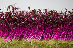 Amaranth Microgreens Source: Bloombrick Urban Agriculture