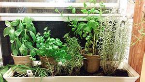 Windowsill herb garden. Credit: Davina Inman