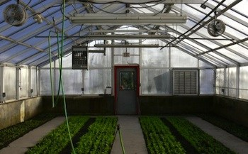 Aragula and spinach growing in one of the greenhouses at Urban Oaks Organic Farm in New Britain, Conn. Photo Credit: Urban Oaks Organic Farm.
