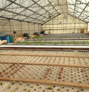 Interior of Viridis Aquaponics greenhouse in Watsonville, CA. Photo credit: Viridis Aquaponics